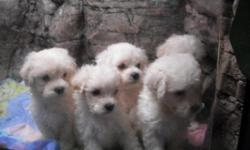 I have 5 boys, yes all boys amazingly enough. Their dad is a full Maltese and Mom is Maltipoo. The puppies have the look of the Maltese with the brains from the poo in them. They have a gorgeous light wave not the tight curl of the Maltipoo and most are