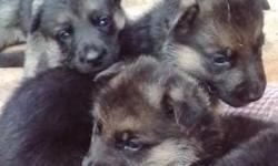 for sale 3, 1 month old pure bredmale german shepherd puppys mother on site, for more information please email arana.jasmine@yahoo.com