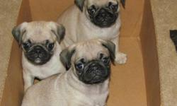 We have 3 adorable pug puppies left. They are 8 weeks old, mom and dad are on premises. They have their shots/ dewormed. They are eating puppy chow and are ready to go to a good home.They are very playful. If you have any questions feel free to call