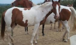 3 year old paint mare. Broken to ride. Great with kids. Unregistered.