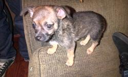 3month puppy for sale