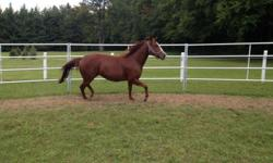 I am looking to sell my beloved Kipawa, who is a people loving 4-year-old Gelding Paint. Kipawa was born here and I own his mother. He has been imprinted. I don?t have the horse knowledge or the experience in which Kipawa could reach to his full