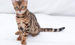Cute Bengal kittens available for re-homing. 13 weeks old.Tica registered and got all their papers.I have 2 females a gold spoted female, snow white spoted female and snow white male. Raised with kids and dogs, and handled since birth. Super