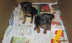 4 black and tan female min pin puppies, tails and toes docked.  Healthy and paper trained 5 weeks, born December 4th 2013.  East Side Milwaukee.. call 414-455-3847.