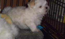 4 month old male Maltese Puppy - Full blooded. Hair is white as snow, soft like cotton - No shedding, registered. worming and shots are up to date. Happy, Playful, and waiting for a loving home. $325 Call