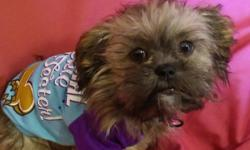 Izzy is a 4 month old female shih tzu. She is a very loveable puppy that loves to cuddle. She will come with her traveling cage, bed, 2 outfits, food, bowls, leash, and shot record. Looking for someone that will show her the same LOVE and CARE as i do. If
