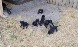 4 week old Daniff puppies for sale. Pups will have 1st set of shots and be ready to take home at 8 wks. Mother is a fawn pure bred English Mastiff and father is a dark grey pure bred Great Dane. 7 females and 2 males available. One female is brindle color