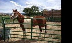 Very handsome and friendly registered (only good to see bloodlines) paint gelding. Scout came from the Painted Pitchfork Ranch in Rifle to my daughter's father-in-law and then to us. Scout just turned 4 yrs old. He is considered green broke.