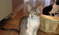 Very sweet and loving male kitten  Has been neutered and has had rabie shot  Grey and white  Call 405-761-5619