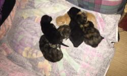 Located in: OSSEO, MINNESOTA Our mama cat was scheduled to get fixed and my husband kept letting her out and sure enough she cameback Prego...... She gavebirth to 6 kittens on July 15, 2016... 3 calico kittens, 1 Orange kitten, 2