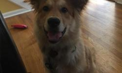 7 months old male chow/collie mix. Approximately 40 pounds now, not expected to getbigger than 50 pounds.Up to date on vaccines/shots. Neutered. House broken. Good with kids and other dogs. Offering: cage,harness,toys,food