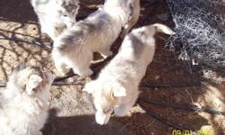 vet said 80 percent wolf have one female left 3 months old