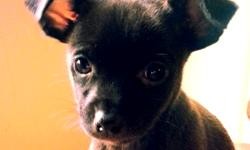 Short hair male Chihuahua puppy looking for a new home he is the last one left of his brother/sister both parents are registered and puppy can be also, puppy has been dewormed and updated on all his shots, he has shot records and in perfect health puppy