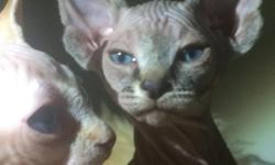 Beautiful and exotic male Sphynx kittens, born on December 20, 2014, very wrinkle, has great personality. Looking for a good home. raise in a cage free environment with father and mother. Must see, three Males Sphynx and one Male Elf Sphynx, very rare.
