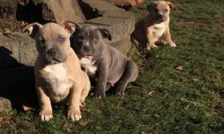 10 Weeks old and ready for Christmas! 1 Blue Male @ $1,500, 1 Fawn and White Female @ $1,200 and 1 Tan w/Blue Mask Female $????. These kids are registered ABKC Bully & UKC Pit Bull. 4 generation pedigree, ABKC and UKC papers included.
