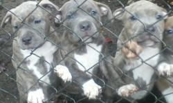 I have five puppies for sale 2 females and 3 males going to be large they are 8 weeks the parents have papers but puppies don't you can always get papers on puppies cause the parents are registered in the bully pedia they come from champion bloodline.
