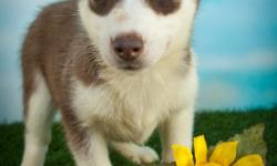 Hi, my name is Abrianna the female Siberian Husky ACA! I was born on May 18, 2016. They are asking $750.00 for me I come with my shots and worming to date.. I have beautiful soft fur and a darling personality. Do you think that I'm the only little girl