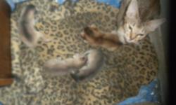 abyssinian kittens.TICA registered blues and ruddys available