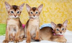 Cute Abyssinian kittens are looking for a loving family. 11 weeks old, females, color-rudy, litter trained. Please feel free to contact if you have any questions.