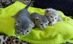 These are home-raised Abyssinian kittens ready for sale in August. They are toilet-trained, have a clean bill of health and come with a free visit to our vet. They are cute and very friendly. Please contact us for information to set up appointments for