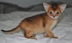 We have a gorgeous litter of 7 full pedigree Abyssinian kittens 5 available for viewing now. Mum & Dad are our family pets and are both registered with GCCF & TICA. All paperwork for them will be available for the buyer to see on viewing. Dad is a very