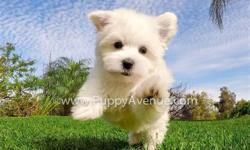 Meet ?Tyler?, our smallest pup, with the biggest personality! He?s our ACA Maltese puppy for sale in San Diego.   Registration: ACA  * 9 weeks old  * Adult weight: 5-6 lb. * Checked by a Licensed Vet * Clean Bill of Health * Current