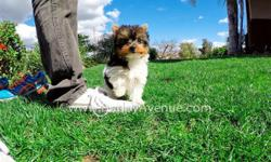 This perfect boy is ?Lorenzo?, our cute male ACA Parti Yorkie puppy available in San Diego. He is current on his vaccines and comes with a One Year Congenital Health Guarantee. Lorenzo will be 5-6 lbs Full Grown, he?s 12 weeks old and ready for a new