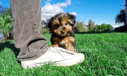 This lovely boy is ?Zeke?, our adorable male ACA Yorkie Puppy available in San Diego. He is current on his vaccines and comes with a One Year Congenital Health Guarantee. Zeke will be 5-7 lbs Full Grown. He?s 9 weeks old, and ready for a new home! Skype
