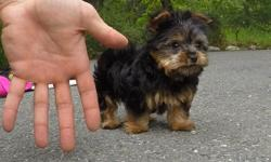 """Come and see """"Kingston"""", our super cute ACA registered male Yorkshire Terrier puppy! * ACA Registered * 9 weeks old * Health Guarantee * Current Vaccination Record * 4 lbs Full Grown * Vet Checked * Clean Bill of Health * Microchip (optional) * Potty"""