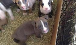 I have 11 blue/ blue fawn pups on ground 6 males 5 females. Pups will be ready February 14 2014,Valentines Day. Call for payment plan or reservation.