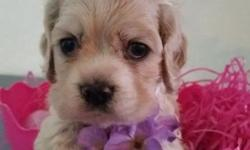 These adorable AKC buff puppies are looking for loving homes and are just in time for Mother's Day! They have the sweetest personality and are great fun. The Sire is Finished Champion and Dam has Champion bloodlines, so pups have show potential . All come