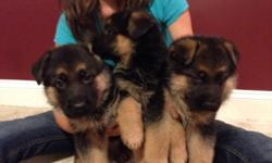 German shepherd pups ready to go now! Mom and dad are both indoor dogs in our home and can be seen Have first shots and wormed.. Text Us at (720) 523-8038 for more info! - See more at: