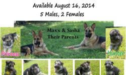 I have 7 German Shepherd Pups (5males, 2 females) that are ready for loving homes as of August 15, 2014. They have been dewormed at 3 weeks and dewormed again and first round of shots at 6 weeks (aug. 15). AKC registered, comes with papers to transfer