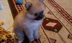 Very sweet adorable AKC Pomeranian Puppies.Both Parents on premise.Vet checked,first shots and wormed.Raised with young children.Extremely friendly and smart.1Male 2 females $250-300.