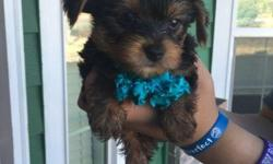 I have Four Adorable AKC Yorkie Puppies for Sale.They are almost ten weeks now,they were born on 5/09/2016.The light pink and dark pink are girls.The ones that white,blue and gray are boys.They already got their dew-claw removed,tail-docked. They are