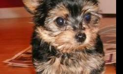 Adorable AND friendly Yorkshire Terrier Puppies FOR New Home. Very With People friendly!!They Have Had Their First Round OF Vaccinations, Up to Date Worming. Very Friendly AND Relaxed, They ARE Social, Calm AND Respectful With Other Dogs. ARE Smart,