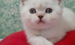 Very smart and very cute 2 month old kitten. British short hair, Female,Chocolate point color ( mainly white). Looking for a good parents.