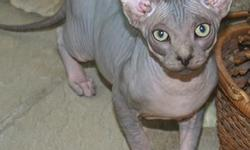 This very lovable & playful male sphynx kitten is ready to go now.  He has his vaccinations up to date, has been de-wormed, neutered and comes with a written health guarantee. He is also litter box trained. He is great around other cats, dogs and