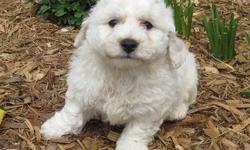 An adorable AKC registered Bichon Frise. super sweet and has a very gentle disposition.mom is approximately eight pounds and dad is seven pounds. Both his parents are the sought after short legged Bichons. has a snow white plush curly coat and is a