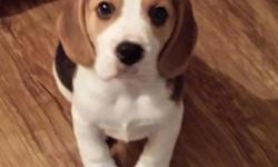 Adorable boy and girl beagle pups for new homes..12 Weeks old, vet checked registered and up to date on their shots..mom and dad also on site.. for more information and pictures.. Email or text us via815-201-2877