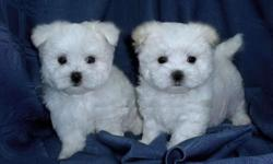 adorable christmas maltese puppies for new homes. they are home raised and well tamed. they love to play with kids and other animals. they come with an amazing health guarantee. if interested in these puppies contact for more details and photos. you can