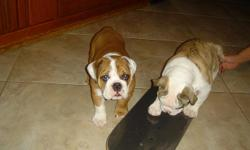 Hello, If you are searching for the perfect companion to add to your family, I have the best English/British bulldog puppies that you will ever find around nowadays at a very cheap and affordable price, they will melt your heart and they will bring much