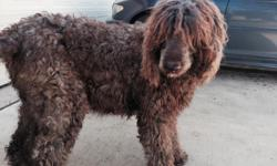 D.O.B. 3/18/2015,F1b non shed lines. Both parents on site, dam is a blackLabradoodle, sire is ared Std Poodle. Puppies will come current on vaccinations, wormed,socialized and a 2yr written health guarantee. Will