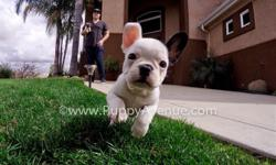 This lovely girl is ?Kate-Spade?, our incredibly cute & unique female French Bulldog puppy for sale in San Diego.   -10 weeks old  - Adult weight: 20-23 lb. - Checked by a Licensed Vet - Clean Bill of Health - Current Vaccination Record -