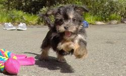 """""""Aria"""" is our super cute female Shorkie puppy! She has the most adorable personality, and loves to run around and play! * Shih-Tzu x Yorkshire Terrier * 11 weeks old * Health Guarantee * Current Vaccination Record * 6-9 lbs Full Grown * Vet Checked *"""