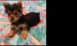 belle is a wonderful female yorkie. she is well tempered and very healthy. she comes with a one year health guarantee,current health certificate,pedigree papers,microchip. she has been dewormed and is up to date on her vaccinations. d o b 10/ 24/2013.