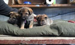 Adorable German Shepherd Mix puppies for Sale!!! Beautiful coloring and amazing temperament! Parents are on premise. We have 3 females and 3 males left. Want them to go to a loving home. photos of the 3 females and 3 males. Please