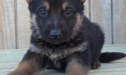 Akc registered male and female german shepherd puppies available for sale at very good prices, feel free to contact us if u need any.