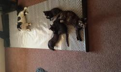 I have 3 Adorable Black Kittens . They were born on April 1st and 5 hey are litter box trained and eating dry kitten food. Very playful and love attention.
