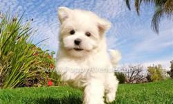 This lovely boy is ?Tyler?, our incredibly cute male ACA Maltese puppy available in San Diego.  Registration: ACA  * 9 weeks old  * Adult weight: 5-6 lb. * Checked by a Licensed Vet * Clean Bill of Health * Current Vaccination Record *